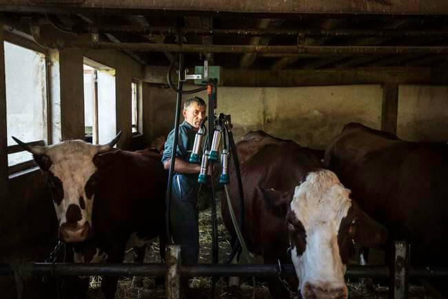 Collecte du lait pour la production de l'Emmental de Savoie